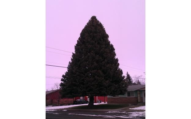Coulee City Tree