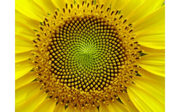 Sunflowers consulted Fibonacci for optimization