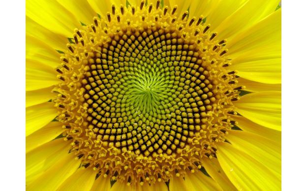 Sunflowers consulted Fibonacci for optimization