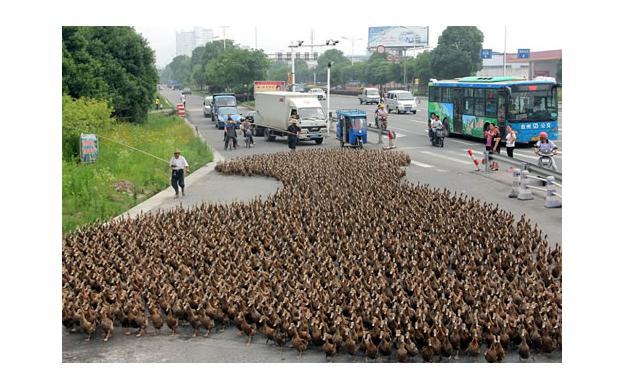 Yes, that's 5000 ducks