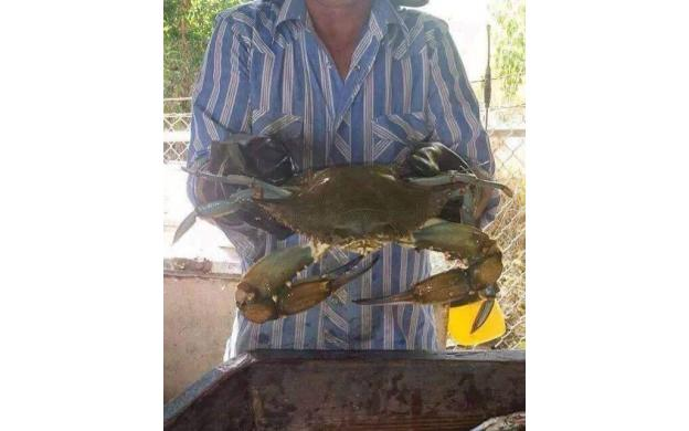 Giant Maryland Crab